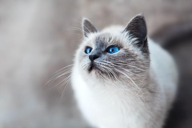 Contoh descriptive text tentang hewan - kucing