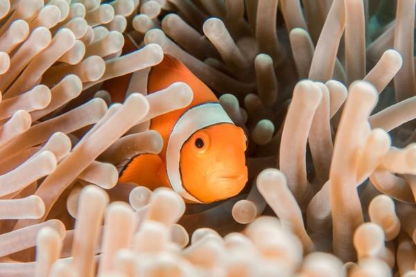 Simbiosis mutualisme contohnya: ikan badut dan anemon laut