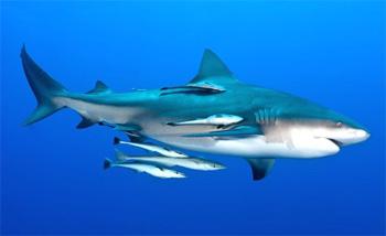 Contoh gambar simbiosis komensalisme hiu dan remora