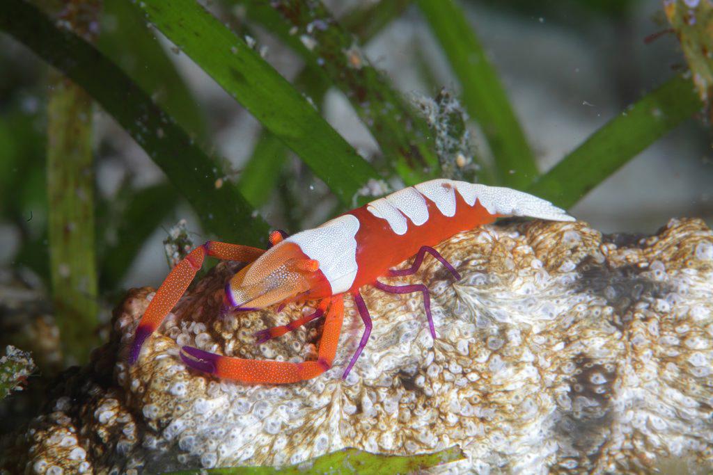 Contoh gambar simbiosis komensalisme udang dan timun laut